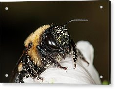 Acrylic Print featuring the photograph Worker Bee And Pollen Detail by Len Romanick