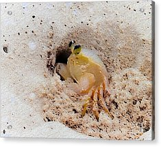 Working Crab Acrylic Print