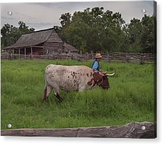 Working Farm Oxen Acrylic Print by Joshua House