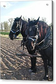 Working Percherons Acrylic Print by Laurie With
