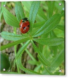 World Of Ladybug 3 Acrylic Print by Jean Bernard Roussilhe