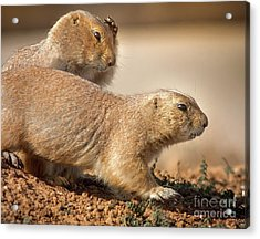 Acrylic Print featuring the photograph Worried Prairie Dog by Robert Frederick