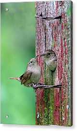 Acrylic Print featuring the photograph Wrens by John Hix