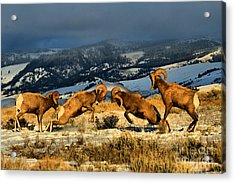 Acrylic Print featuring the photograph Wyoming Bighorn Brawl by Adam Jewell