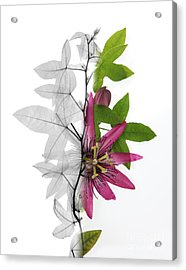 X-ray Of A Passion Flower Acrylic Print