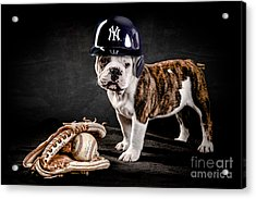 Yankee Bulldog Acrylic Print by Jt PhotoDesign