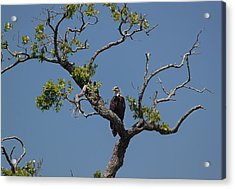 Acrylic Print featuring the photograph Yawkey Wildlife Reguge - American Bald Eagle by Suzanne Gaff