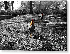 Ybor Cocks Acrylic Print by Blake Yeager