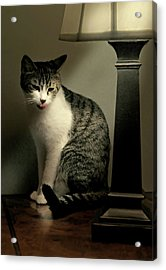Year Of The Cat Acrylic Print by Diana Angstadt