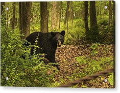 Yearling Black Bear Acrylic Print