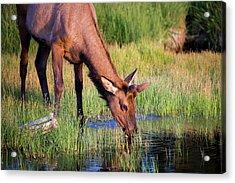 Yearling Elk Acrylic Print by Dan Pearce