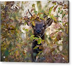 Acrylic Print featuring the photograph Yearling Elk Peeking Through Brush by Michael Dougherty