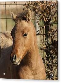 Yearling Acrylic Print by Rick Friedle