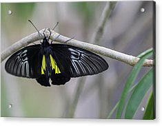 Yellow And Black Butterfly Acrylic Print
