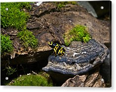 Yellow And Black Dart Frog Acrylic Print