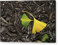 Yellow And Green Gingko Acrylic Print