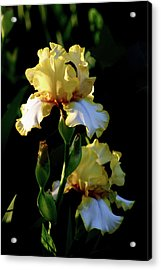 Yellow And White Irises 6681 H_2 Acrylic Print