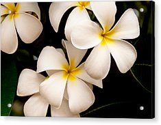Yellow And White Plumeria Acrylic Print by Brian Harig