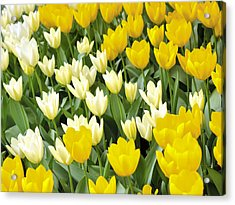 Yellow And White Tulips Acrylic Print