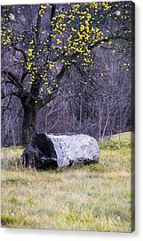 Yellow Apples Acrylic Print by Tom Singleton