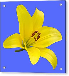 Yellow Asiatic Lily On Blue Acrylic Print by Jane McIlroy