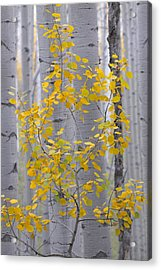 Yellow Aspen Tree Acrylic Print