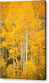 Yellow Aspens Acrylic Print by Ron Dahlquist - Printscapes