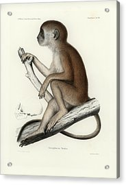 Acrylic Print featuring the drawing Yellow Baboon, Papio Cynocephalus by J D L Franz Wagner