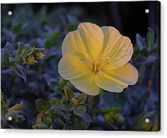 Acrylic Print featuring the photograph Yellow Beach Evening Primrose by Marie Hicks