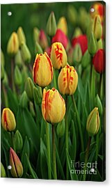 Acrylic Print featuring the photograph Yellow Beauties by Craig Leaper