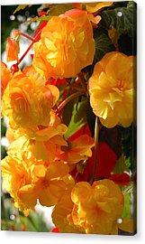 Yellow Begonia Flowers.  Victoria Acrylic Print by Darlyne A. Murawski