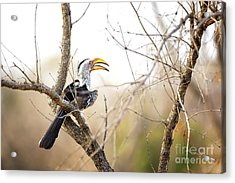 Yellow-billed Hornbill Sitting In A Tree.  Acrylic Print