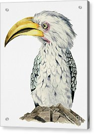 Yellow-billed Hornbill Watercolor Painting Acrylic Print by NamiBear