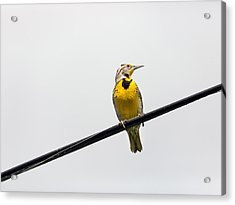 Yellow Bird Acrylic Print by Rebecca Cozart