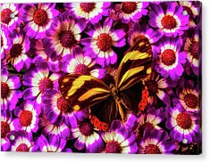 Yellow Black Butterfly On Pericallis Acrylic Print by Garry Gay