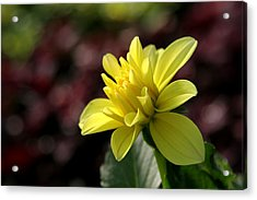 Yellow Bloom Acrylic Print