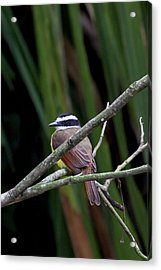 Acrylic Print featuring the photograph Yellow Breasted Chat by John Haldane