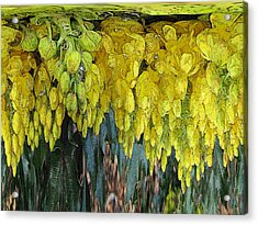Yellow Buds Acrylic Print by Tim Allen