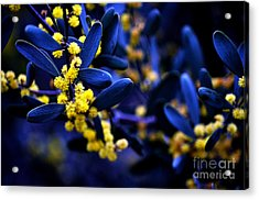Yellow Bursts In Blue Field Acrylic Print