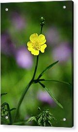 Yellow Buttercup Acrylic Print by Christina Rollo