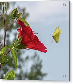 Yellow Butterfly Art Acrylic Print