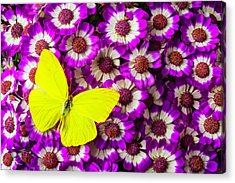 Yellow Butterfly On Pericallis Flowers Acrylic Print by Garry Gay