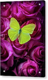 Yellow Butterfly On Pink Moody Roses Acrylic Print