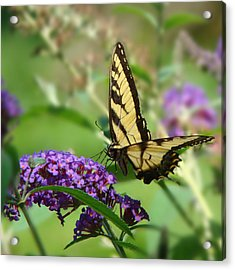 Yellow Butterfly On Purple Acrylic Print