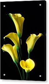 Yellow Calla Lilies  Acrylic Print by Garry Gay
