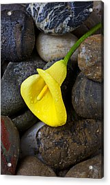 Yellow Calla Lily On Rocks Acrylic Print by Garry Gay