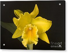 Yellow Cattleya Orchid Acrylic Print by Ted Kinsman