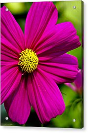 Yellow Center Acrylic Print by Ches Black