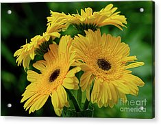 Acrylic Print featuring the photograph Yellow Chrysanthemums By Kaye Menner by Kaye Menner