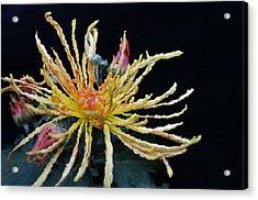 Yellow Chrysanthemums Flower Acrylic Print